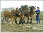 Brabantse trekpaard is erkend als erfgoed | Natuurfreak